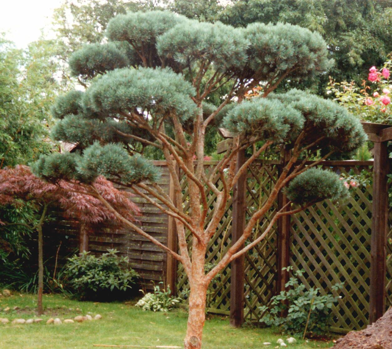 pinus sylvestris 39 watereri 39 watereri scots pine walter pine daum. Black Bedroom Furniture Sets. Home Design Ideas
